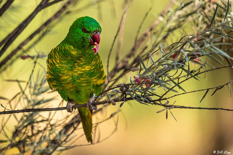 Scaly-Breasted Lorikeet, Goondiwindi, Australia, Photos by Bill Klipp