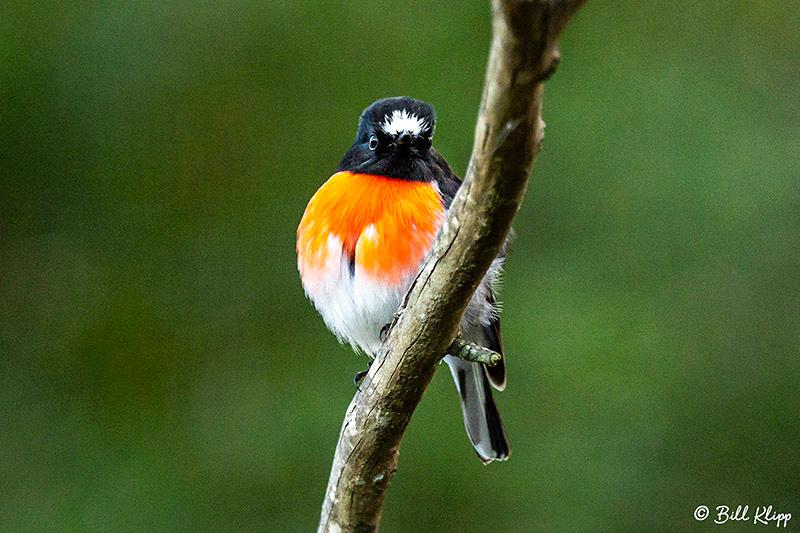 Scarlet Robin, Inala Nature Lodge, Bruny Island, Tasmania, Australia, Photos by Bill Klipp