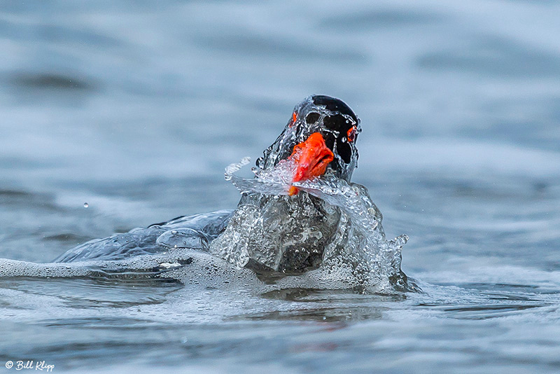 Pied Oyster Catcher, Bruny Island, Tasmania, Australia, Photos by Bill Klipp
