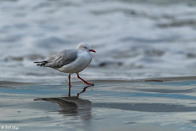 Silver Gull, Bruny Island, Tasmania, Australia, Photos by Bill Klipp