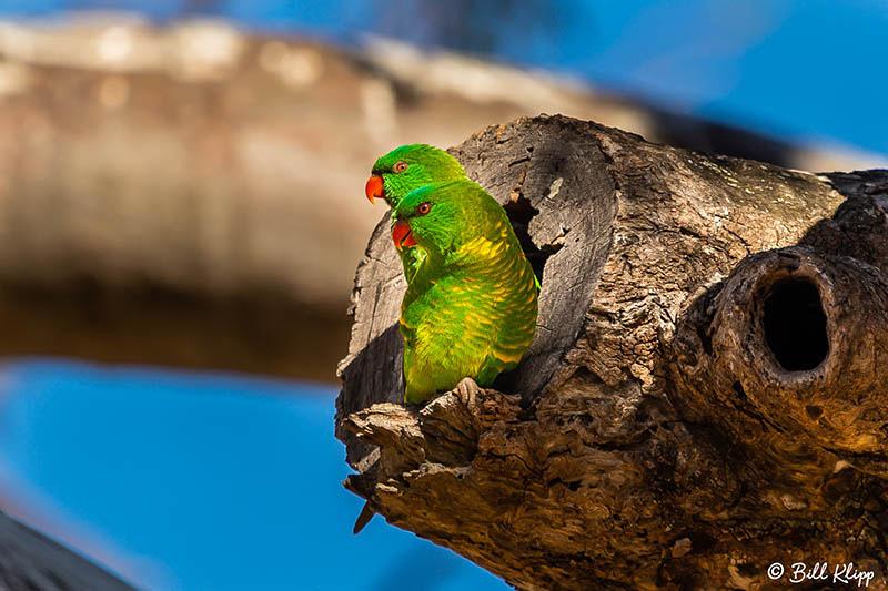 Scaly-Breasted Lorikeet, Warwick Australia, Photos by Bill Klipp