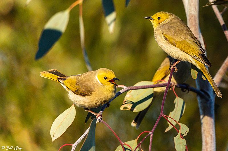 White plumed Honeyeater, Goondiwindi, Australia, Photos by Bill Klipp