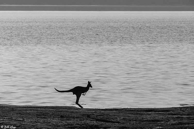 Eastern Grey Kangaroo, Broadwater Lake, Dalby, Australia, Photos by Bill Klipp