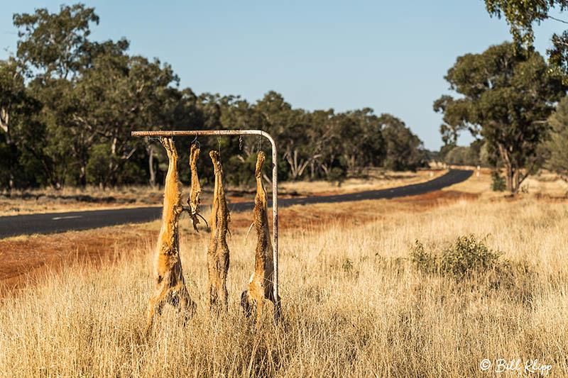 Dingo, Goondiwindi, Australia, Photos by Bill Klipp