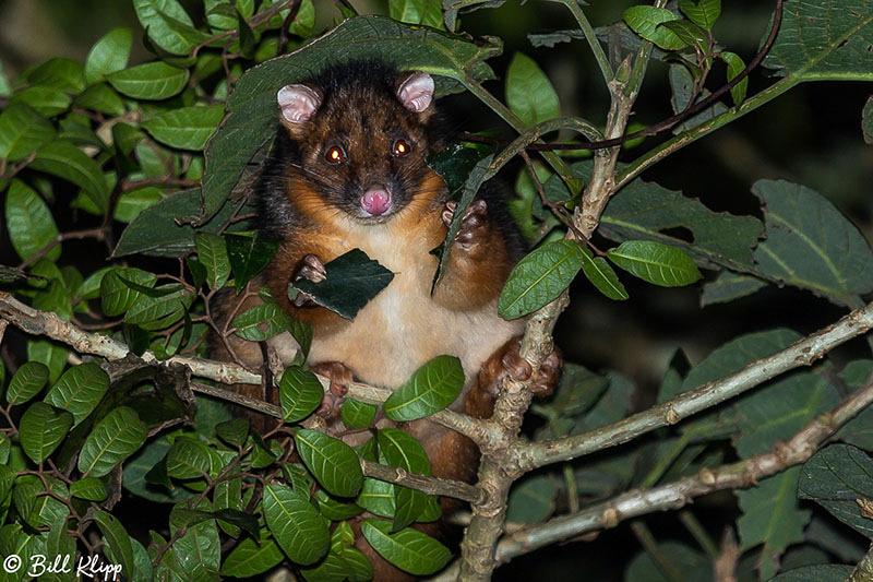 Brush Tailed Possum, O'Reillys, Lamington National Park, Australia, Photos by Bill Klipp