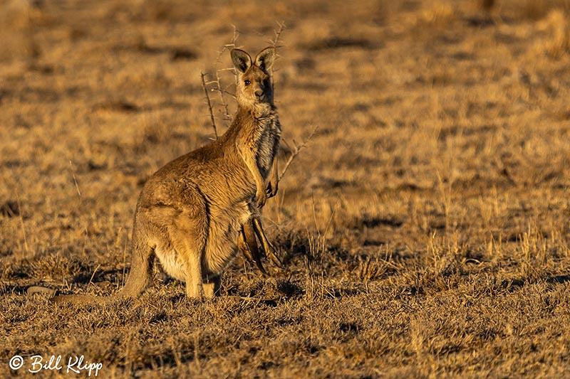 Eastern Grey Kangaroo, Goondiwindi Australia, Photos by Bill Klipp