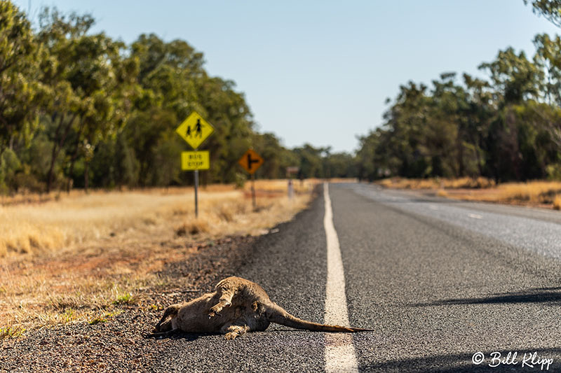 Road Kill Kangaroo, Goondiwindi, Australia, Photos by Bill Klipp