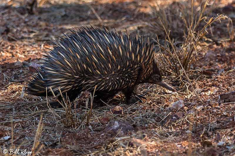 Short-beaked Echida, Goondiwindi, Australia, Photos by Bill Klipp