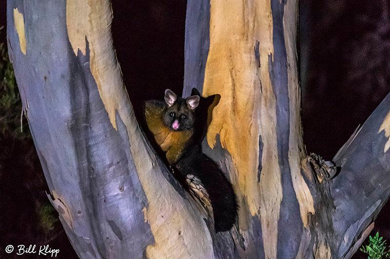 Brush Possum, Inala Nature Lodge, Bruny Island, Tasmania, Australia, Photos by Bill Klipp