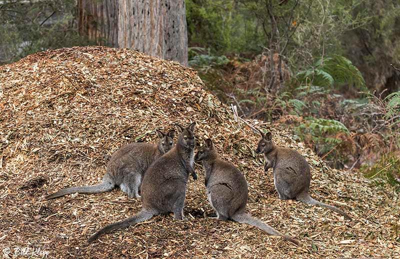 Swamp Wallaby, Inala Nature Lodge, Bruny Island, Tasmania, Australia, Photos by Bill Klipp