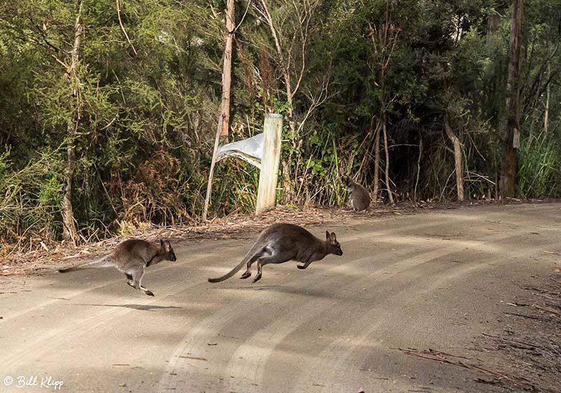 Swamp Wallaby, Adventure Bay, Bruny Island, Tasmania, Australia, Photos by Bill Klipp