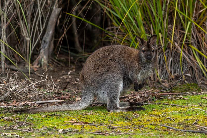 Swamp Wallaby, Bruny Island, Tasmania, Australia, Photos by Bill Klipp