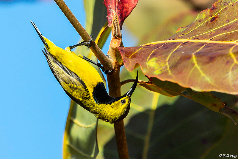 Yellow-Bellied Sunbird, Lizard Island, Great Barrier Reef, Australia, Photos by Bill Klipp