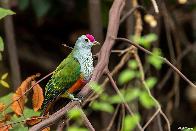 Rose-Crowned Fruit Dove, Lizard Island, Great Barrier Reef, Australia, Photos by Bill Klipp