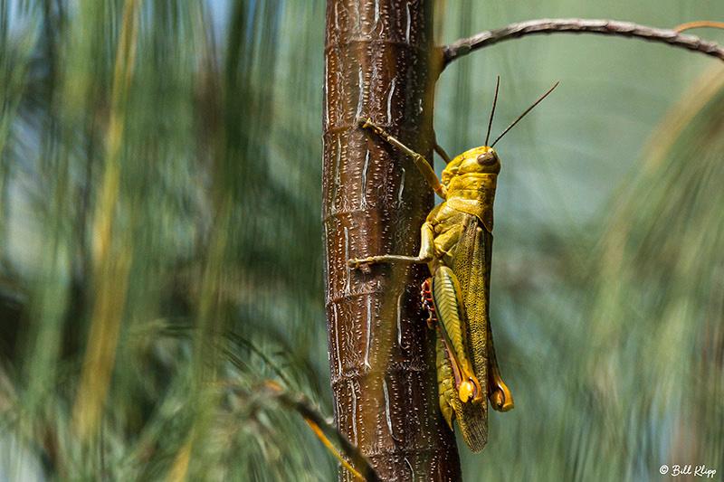 Grasshopper, Lizard Island, Great Barrier Reef, Australia, Photos by Bill Klipp