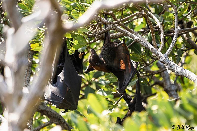 Flying Fox, / Bats, Lizard Island, Great Barrier Reef, Australia