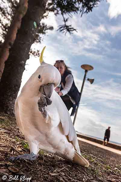Sulphur-Crested Cockatoo, Manly Beach, Sydney, Australia, Photos by Bill Klipp