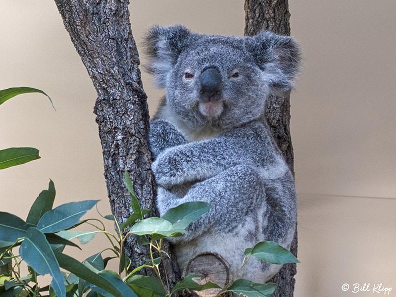 Koala Bear, Lone Pine Koala Sanctuary, Brisbane Australia, Photos by Bill Klipp