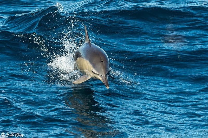 Common Dolphin, Sydney Harbor Australia, Photos by Bill Klipp