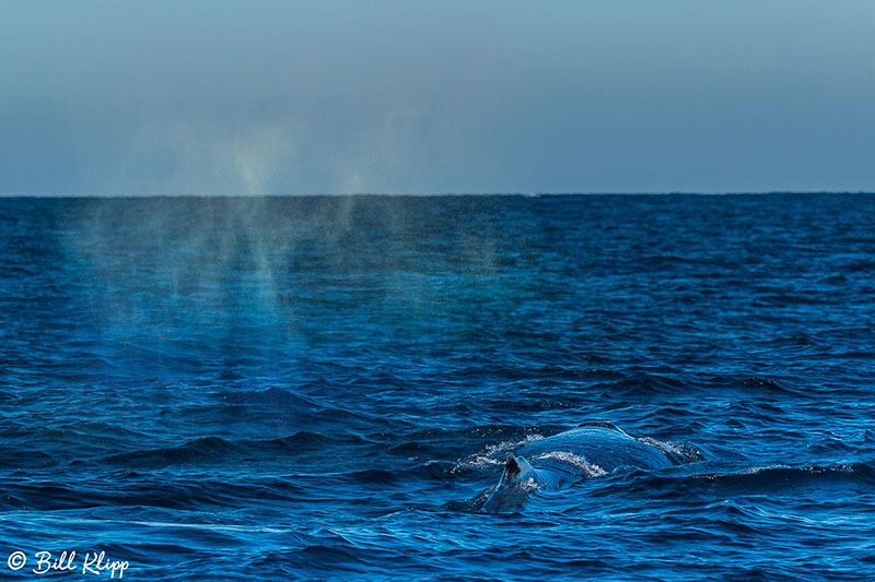Humpback Whale, Sydney Harbor Australia, Photos by Bill Klipp