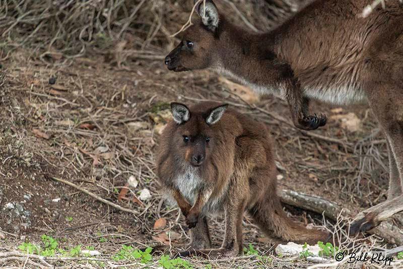 Kangaroo, Kangaroo Island, Southern Ocean Lodge, Australia, Photos by Bill Klipp