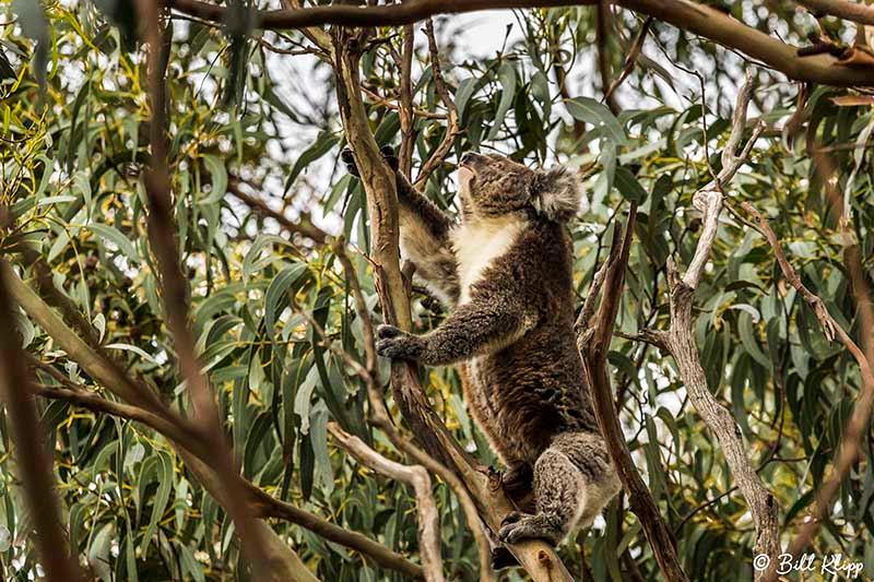 Koala Bear, Kangaroo Island, Southern Ocean Lodge, Australia, Photos by Bill Klipp