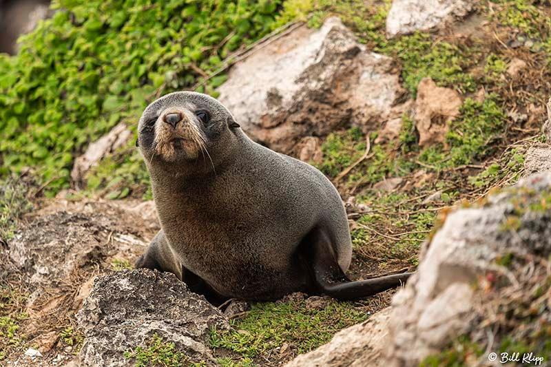 Long-Nosed Fur Seal, Admirals Arch, Kangaroo Island, Southern Ocean Lodge, Australia, Photos by Bill Klipp