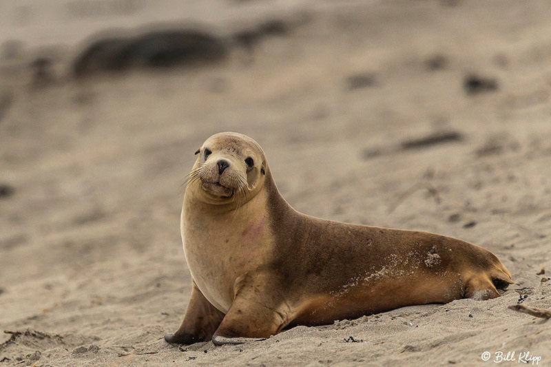 Australian Sea Lions, Seal Bay, Kangaroo Island, Southern Ocean Lodge, Australia, Photos by Bill Klipp
