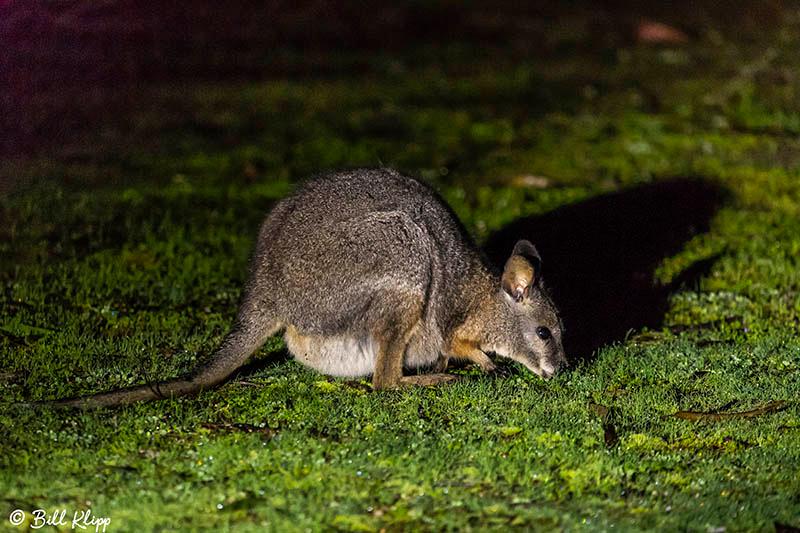 Tammar Wallaby, Kangaroo Island, Southern Ocean Lodge, Australia, Photos by Bill Klipp