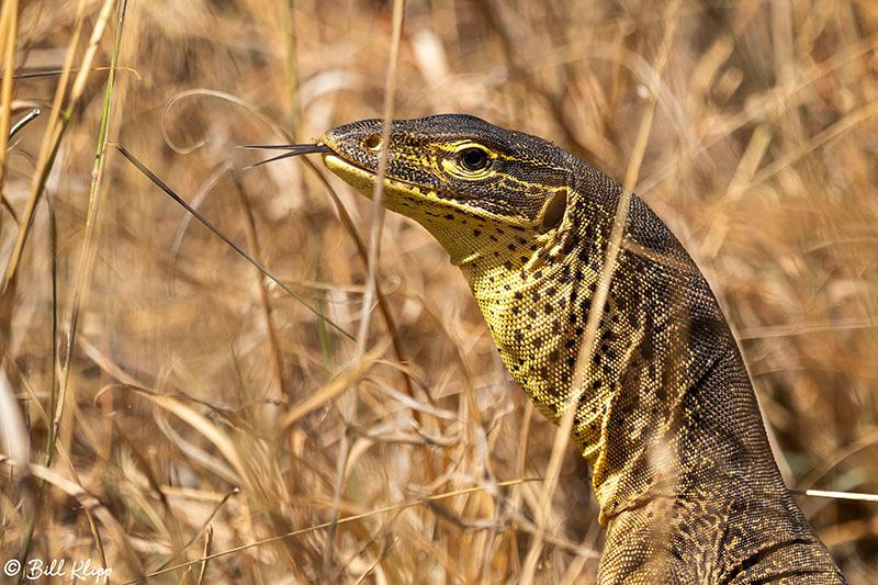 Yellow-Spotted Monitor Lizard, Lizard Island, Great Barrier Reef