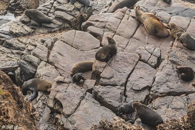 Long-Nosed Fur Seal, Admirals Arch, Kangaroo Island, Southern Oc