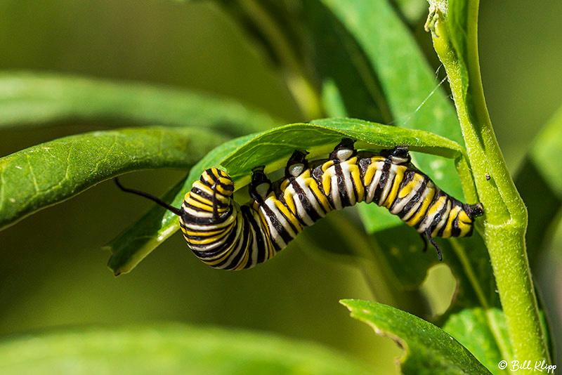 Monarch Butterfly caterpillar, Photos by Bill Klipp