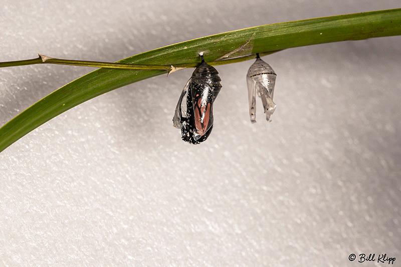 Monarch Butterfly chrysalis / Pupa, Key West Photos by Bill Klipp