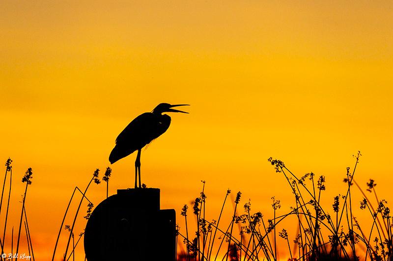 Great Blue Heron Sunset, Delta Wanderings, Discovery Bay, Photos by Bill Klipp