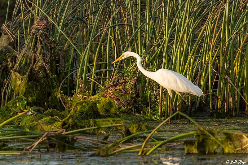 Great Egret, Delta Wanderings, Discovery Bay, Photos by Bill Klipp