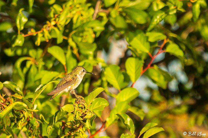 Humming Bird, Delta Wanderings, Discovery Bay, Photos by Bill Klipp