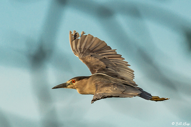 Night Heron, Delta Wanderings, Discovery Bay, Photos by Bill Klipp