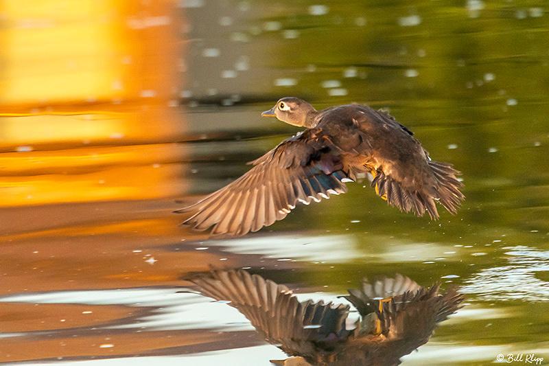 Wood Ducks, Delta Wanderings, Discovery Bay, Photos by Bill Klipp
