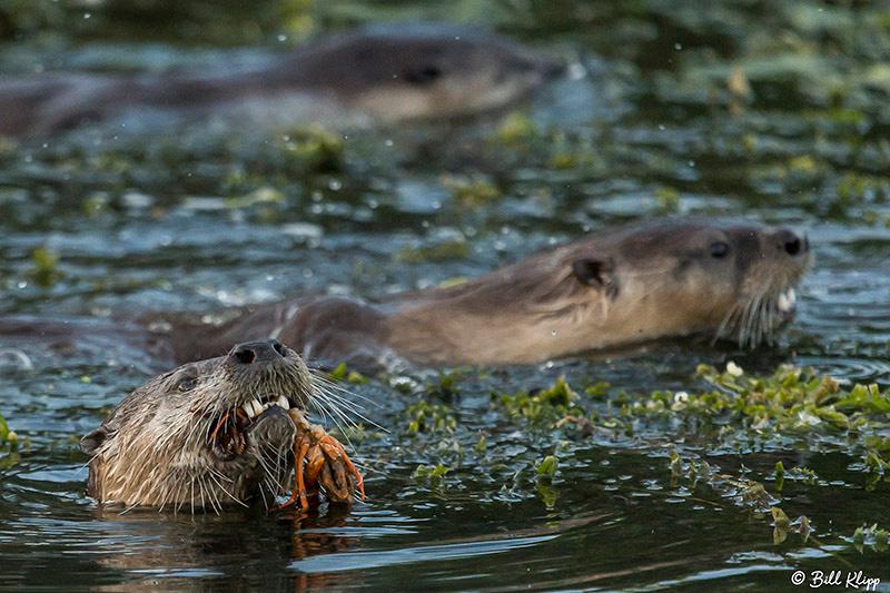 River Otters, Delta Wanderings, Discovery Bay, Photos by Bill Klipp