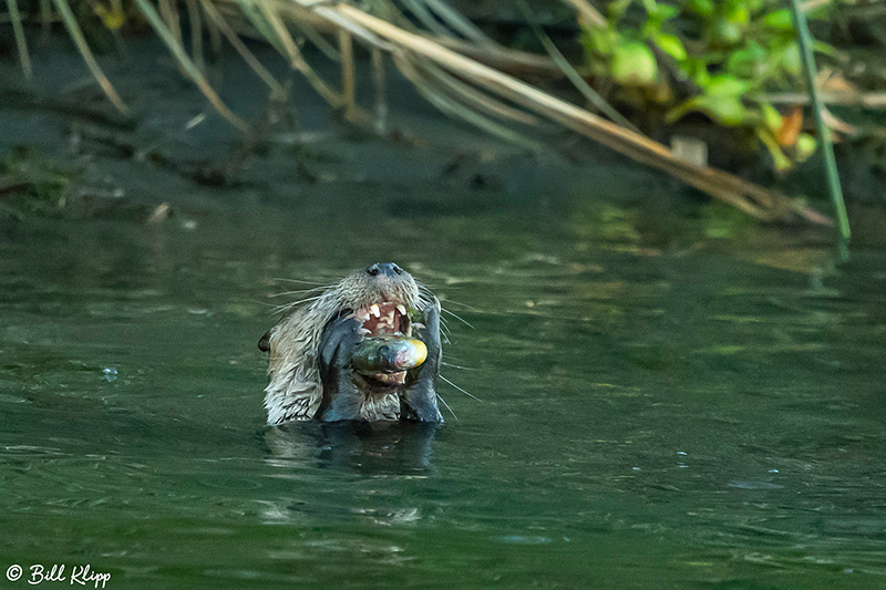 River Otters, Indian Slough, Delta Wanderings, Photos by Bill Klipp