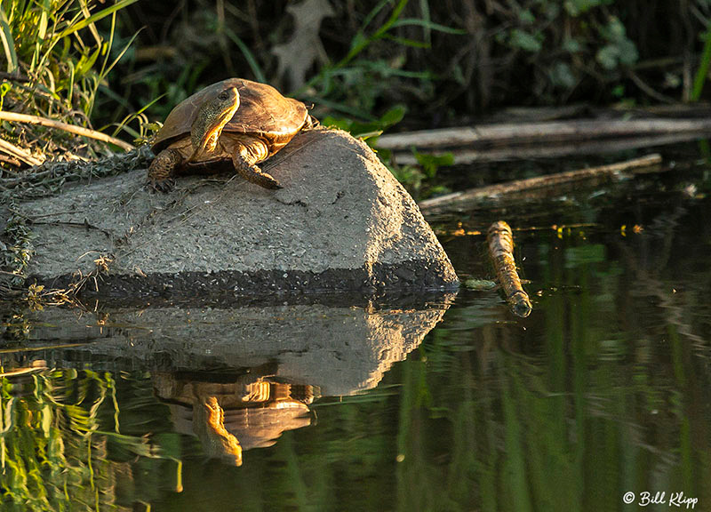 Western Pond Turtle, Delta Wanderings, Discovery Bay, Photos by Bill Klipp