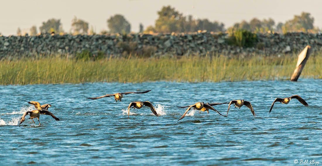Canada Geese, Delta Wanderings, Discovery Bay, Photos by Bill Klipp