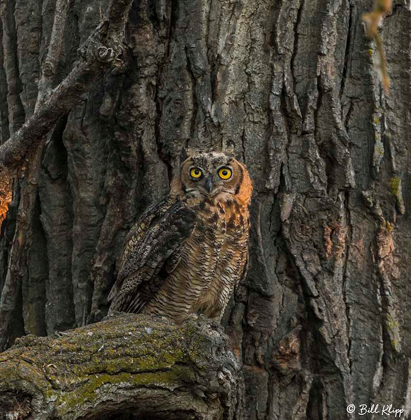 Great Horned Owl, Discovery Bay, Photos by Bill Klipp