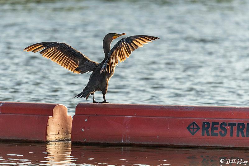Cormorant, Delta Wanderings, Discovery Bay, Photos by Bill Klipp