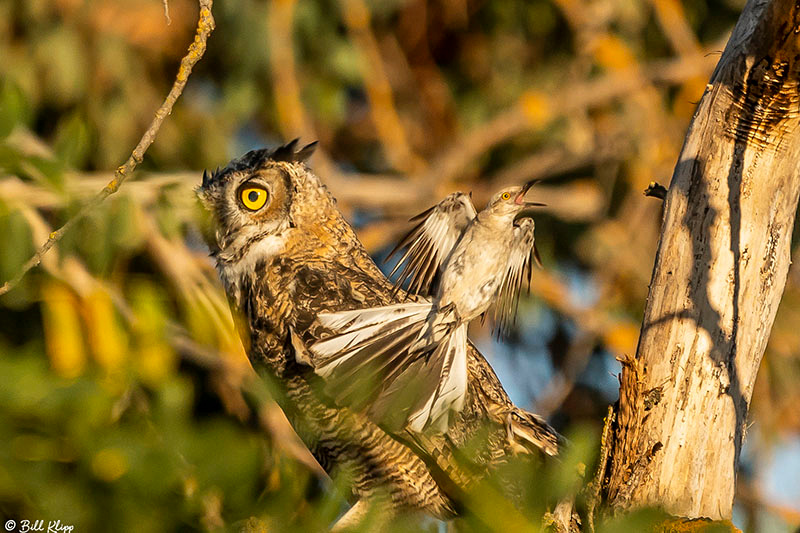 Great Horned Owl, Delta Wanderings, Discovery Bay, Photos by Bil