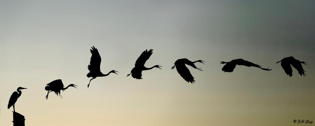 Great Blue Heron, Delta Wanderings, Discovery Bay, Photos by Bill Klipp