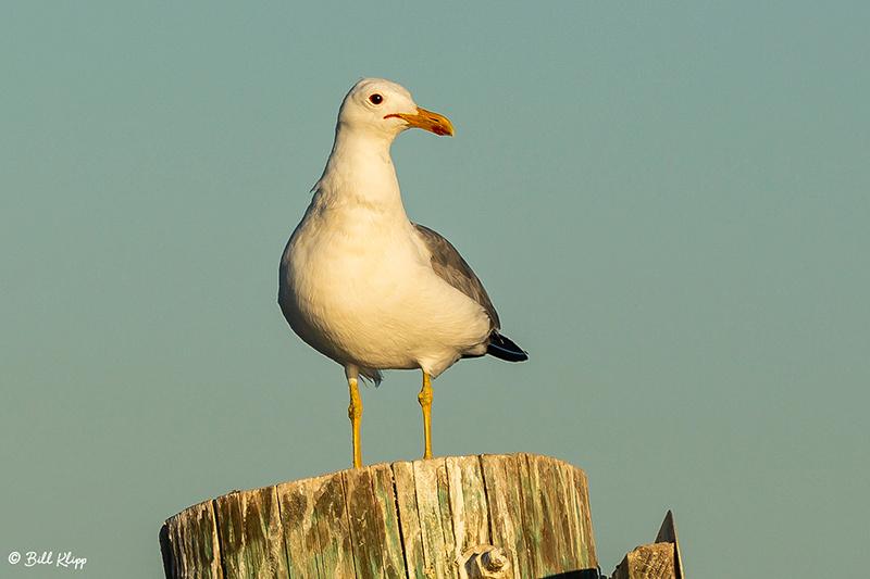 California Gull, Delta Wanderings, Discovery Bay, Photos by Bill