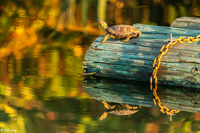 Western Pond Turtle, Delta Wanderings, Discovery Bay, Photos by