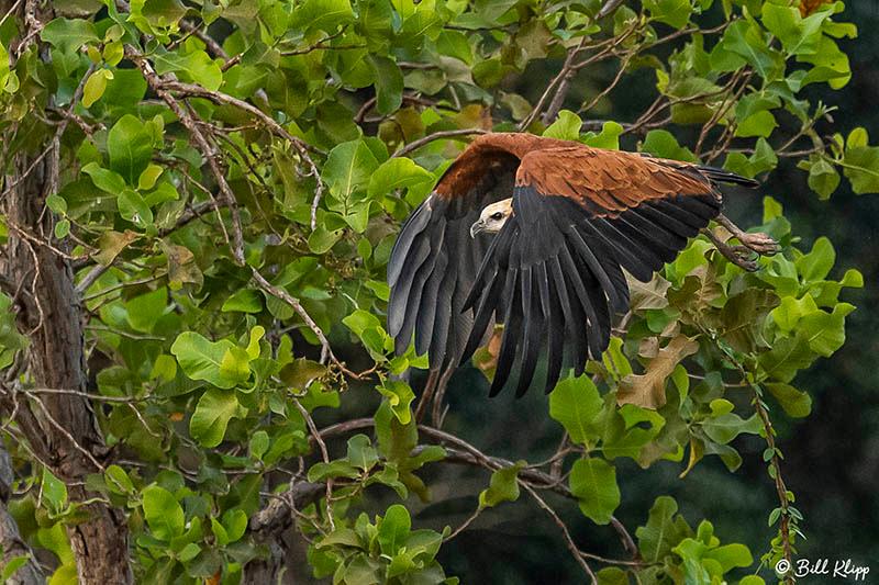 Black-Collared Hawk, Pousada Piuval, Pantanal Brazil Photos by Bill Klipp
