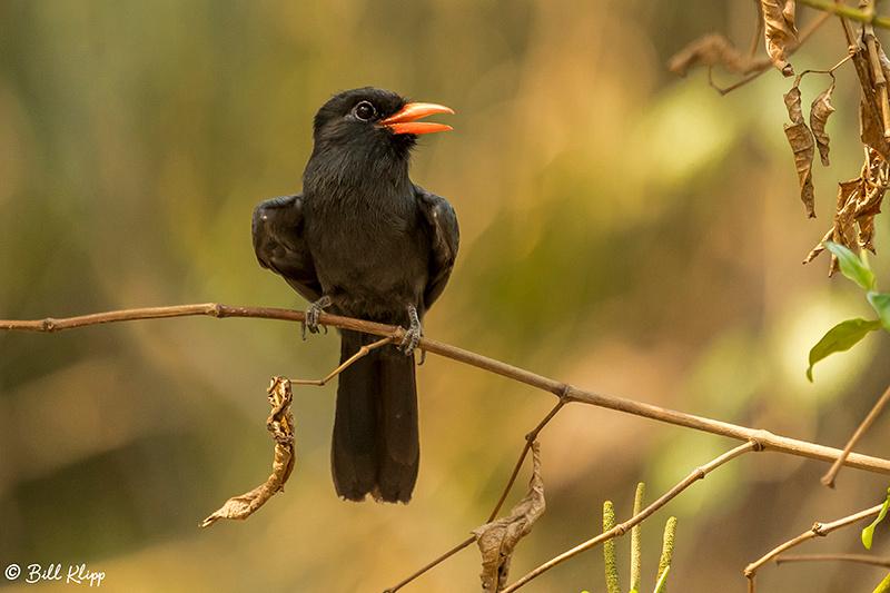 Black-fronted Nun, Pousada Piuval, Pantanal Brazil Photos by Bill Klipp